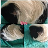 Silky longhaired guinea pig male in Naperville, Illinois
