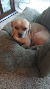 Puggle needs a loving home in Bolling AFB, DC