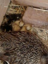 Muscovy --AND Mallard ducklings for sale in Alamogordo, New Mexico