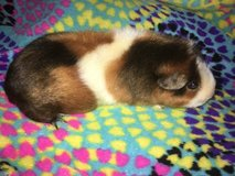 Guinea pig female in Naperville, Illinois