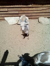 Male goat in Yucca Valley, California