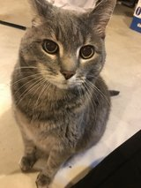 Lucy (gray tabby) in Naperville, Illinois