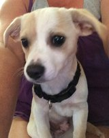 BEAGLE/CHIHUAHUA MIX MALE PUPPY in Roseville, California