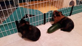 Guinea Pigs, cage, and supplies - 2 sweet males in Naperville, Illinois