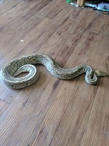 2 Snakes for sale in Fort Campbell, Kentucky