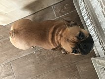 9 month old French Bulldog in Ramstein, Germany