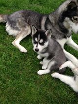 Cute male and female siberian husky. Blue eyes Read in Birmingham, Alabama