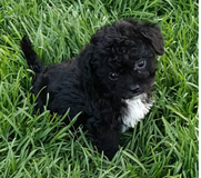 Chi poo puppy needs new home in Oceanside, California