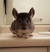 A year old male Chinchilla in Miramar, California