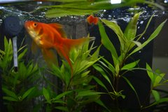 Goldfish - FREE to good home in Grafenwoehr, GE