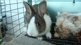Full Dutch bunnie for sale (call-no email please)  4lb 3oz wt in Fort Rucker, Alabama