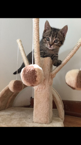 Tabby kitten (comes with supplies) in Warner Robins, Georgia