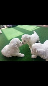 BEAUTIFUL GOLDEN RETRIEVER PUPPIES AVAILABLE FOR NEW HOMES in Los Angeles, California