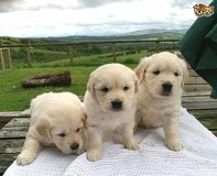 Kc Golden Retriever Pups Available in Los Angeles, California