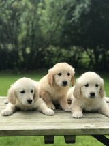 Kc Golden Retriever Puppies For Sale in Los Angeles, California