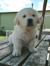 Golden Retriever Puppies Ready To Go Now in Los Angeles, California