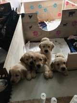 Golden Retriever Puppies Kc Registered - Ready Now in Los Angeles, California