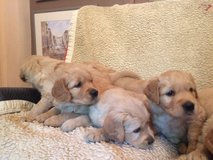 Lovely Dark Golden Retriever Puppies For Sale in Los Angeles, California