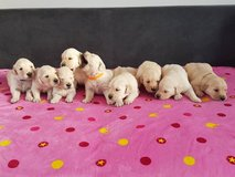 Beautiful Golden Retriever Puppies. Mom And Dad Kc in Los Angeles, California