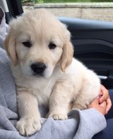 Gorgeous Golden Retriever Pups For New Homes in Los Angeles, California
