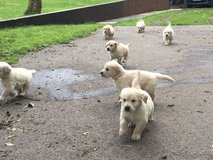 Gorgeous Golden Retriever Pups Available.... in Los Angeles, California