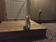 All white female Pomsky puppy for sale in Lawton, Oklahoma