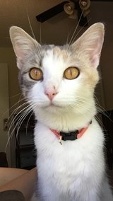 6 month old calico in Clarksville, Tennessee