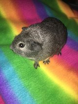 Guinea pig babies females in Naperville, Illinois