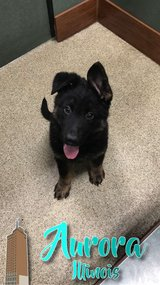 Pure bred German Shepard in Naperville, Illinois