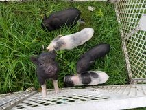 Mini potbellie piglets in Kingwood, Texas