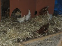 5 pullets chickens .. lot A in Camp Lejeune, North Carolina