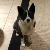 Small Cattle Type Dog in 29 Palms, California