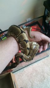 Ball Python Spider in Vacaville, California