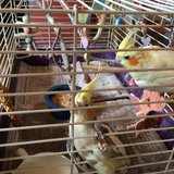 two Cockatieland cage back up for grabs in Fort Polk, Louisiana
