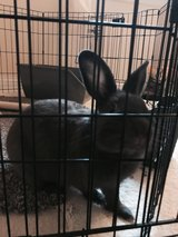 Bunny rabbit for sale in Chicago, Illinois