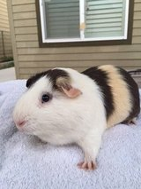 Male Guinea Pig and Supplies in Camp Pendleton, California