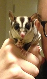Sugar gliders with cage and etc in Okinawa, Japan