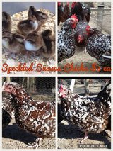 Speckled Sussex chicks in Fort Polk, Louisiana