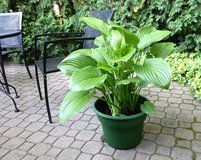 Very Large Aphrodite Hosta, potted in Chicago, Illinois
