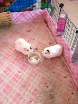 Two female guinea pigs plus cage and accessories in Morris, Illinois