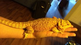 Female Bearded dragon in Vista, California