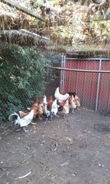 Chickens. in Beaufort, South Carolina