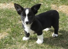 Male Corgi Puppy (813) 609-8240 in Los Angeles, California