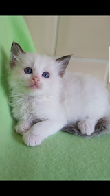 RAGDOLL KITTENS GCCF REGISTERED FULL PEDIGREE in Los Angeles, California
