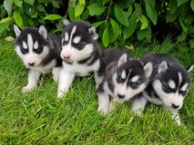 Blue eyes siberian husky puppies, two males and 2 females in Toms River, New Jersey