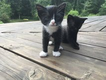 Cute friendly kittens! in Fort Lewis, Washington