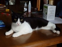 Free cute black/white juvenile male cat in Okinawa, Japan