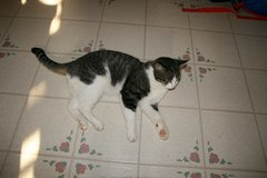 Re-homing 6yr old short hair tabby in Naperville, Illinois