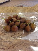 BROWN TURKEY FIGS - Free of Pesticides, etc... in Perry, Georgia
