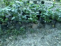 Gardenia bushes 1gal.pots in Conroe, Texas